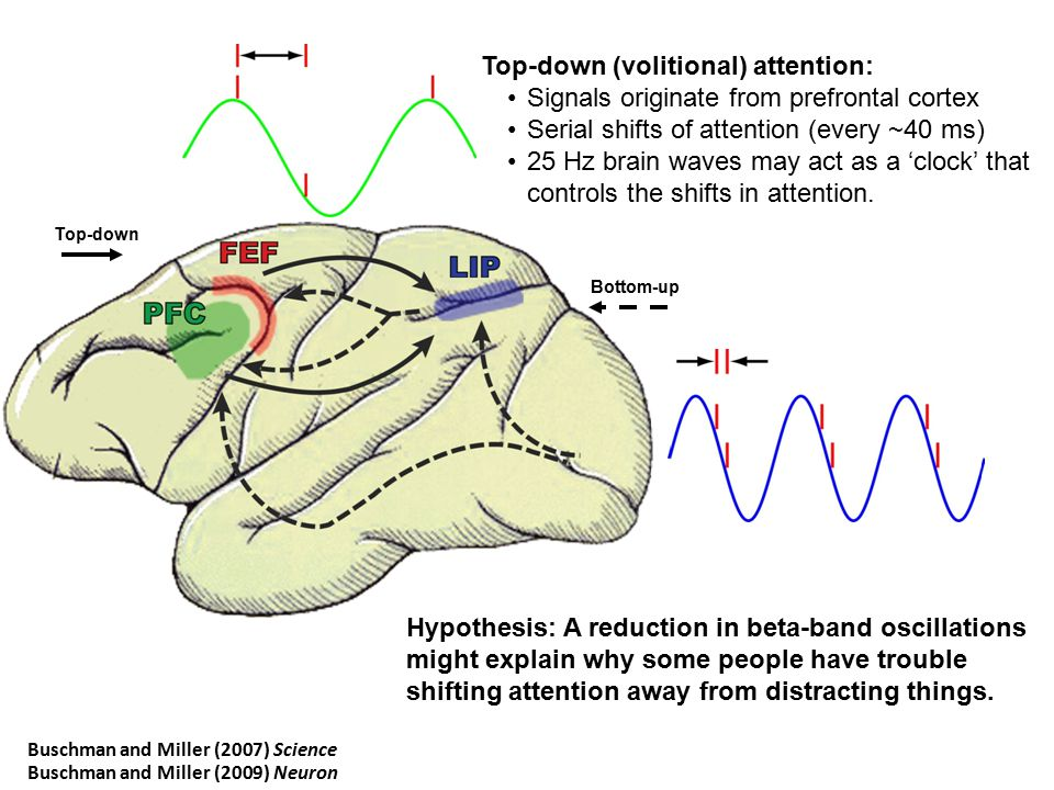 Top-down (volitional) attention: Signals originate from prefrontal cortex Serial shifts of attention (every ~40 ms) 25 Hz brain waves may act as a 'cl