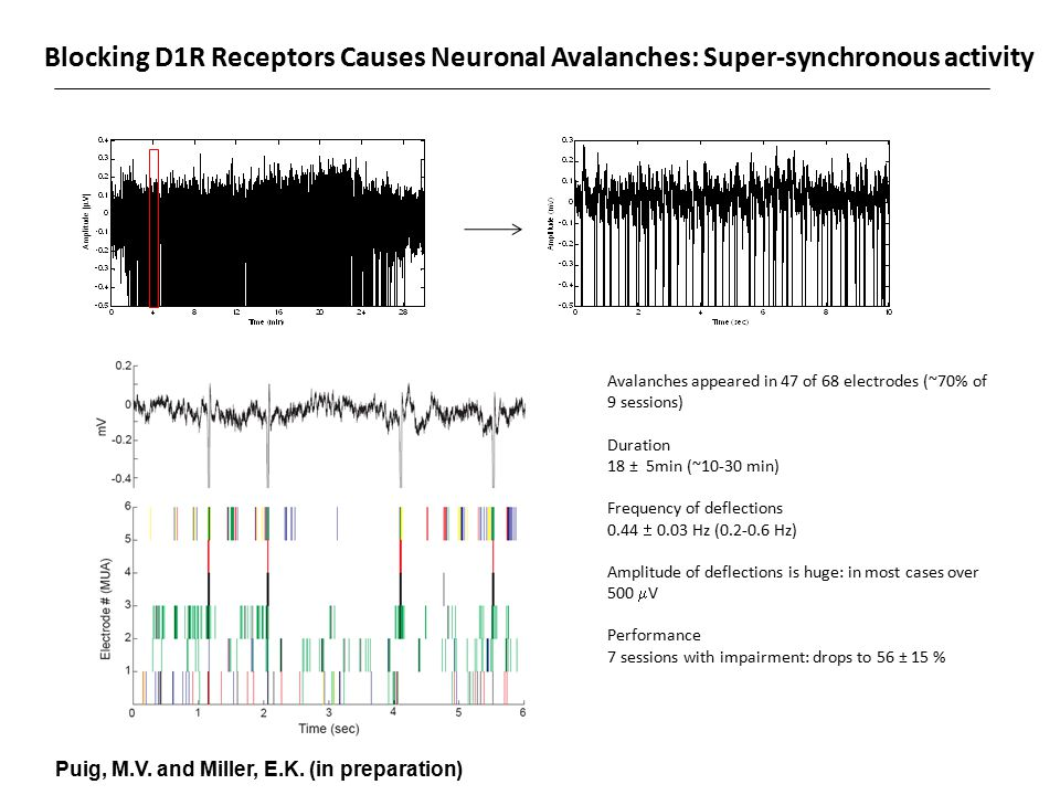 Blocking D1R Receptors Causes Neuronal Avalanches: Super-synchronous activity Avalanches appeared in 47 of 68 electrodes (~70% of 9 sessions) Duration 18 ± 5min (~10-30 min) Frequency of deflections 0.44  0.03 Hz (0.2-0.6 Hz) Amplitude of deflections is huge: in most cases over 500  V Performance 7 sessions with impairment: drops to 56 ± 15 % Amplitude (  V) Puig, M.V.