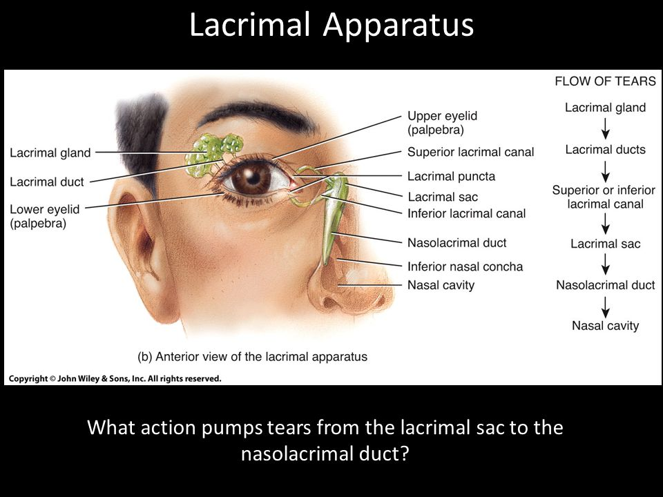 Lacrimal Apparatus What action pumps tears from the lacrimal sac to the nasolacrimal duct