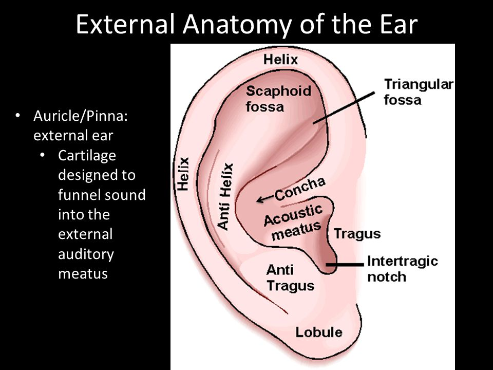 External Anatomy of the Ear Auricle/Pinna: external ear Cartilage designed to funnel sound into the external auditory meatus