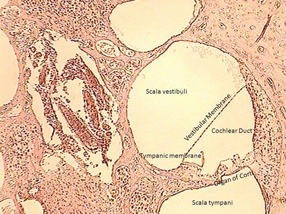 Scala vestibuli Cochlear Duct Vestibular Membrane Tympanic membrane Organ of Corti Scala tympani