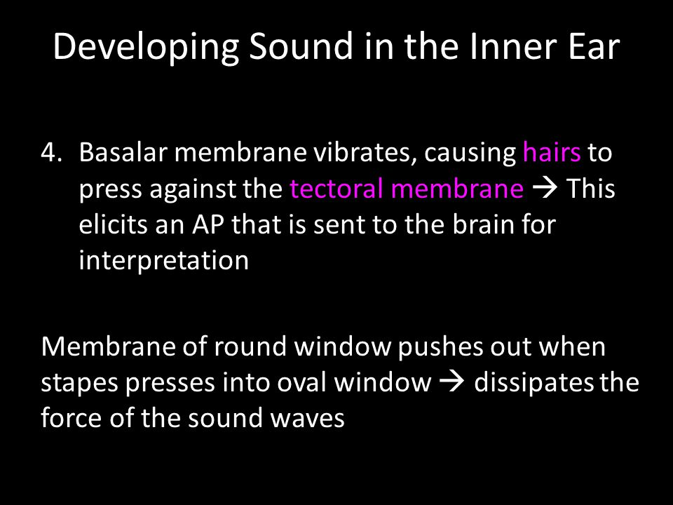 Developing Sound in the Inner Ear 4.Basalar membrane vibrates, causing hairs to press against the tectoral membrane  This elicits an AP that is sent to the brain for interpretation Membrane of round window pushes out when stapes presses into oval window  dissipates the force of the sound waves