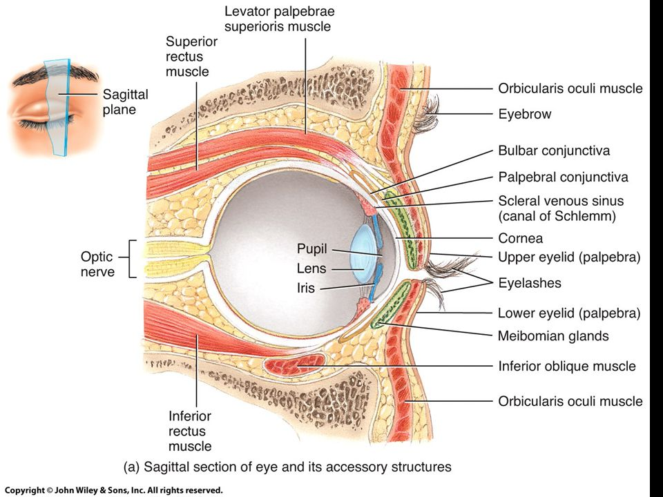 Unit 4: Nervous System Lab 4: Human Eye and Vision Lab 5: Human Ear ...