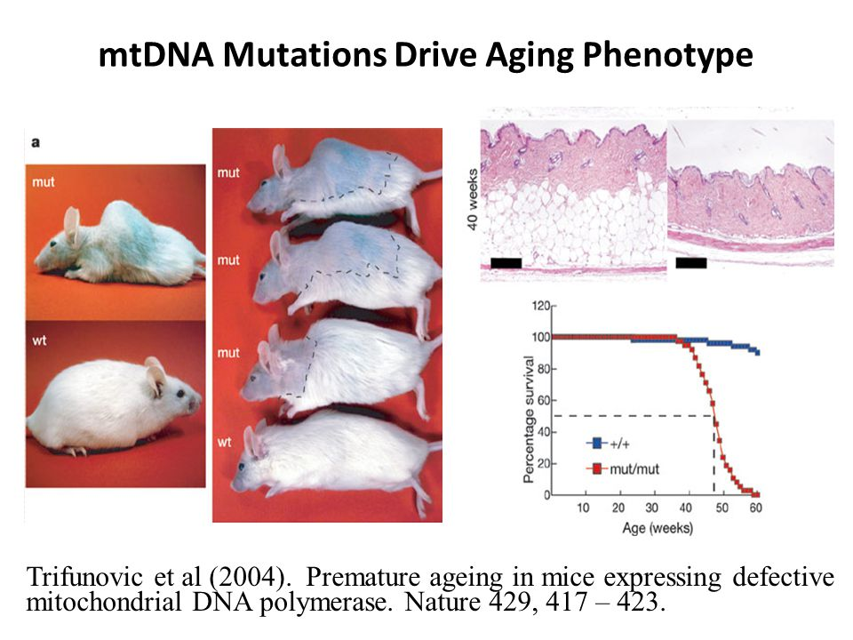 mtDNA Mutations Drive Aging Phenotype Trifunovic et al (2004).