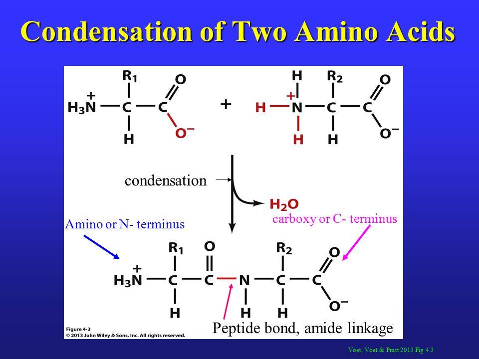 Condensation of Two Amino Acids Voet, Voet & Pratt 2013 Fig 4.3 condensation Peptide bond, amide linkage Amino or N- terminus carboxy or C- terminus