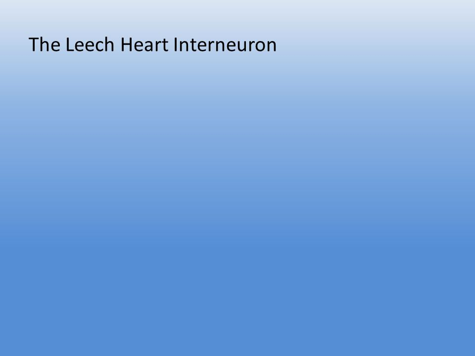 The Leech Heart Interneuron