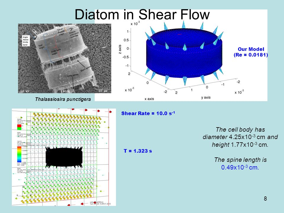 Diatom in Shear Flow The cell body has diameter 4.25x10 -3 cm and height 1.77x10 -3 cm. The spine length is 0.49x10 -3 cm. Thalassiosira punctigera Ou