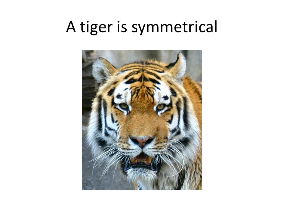 A tiger is symmetrical