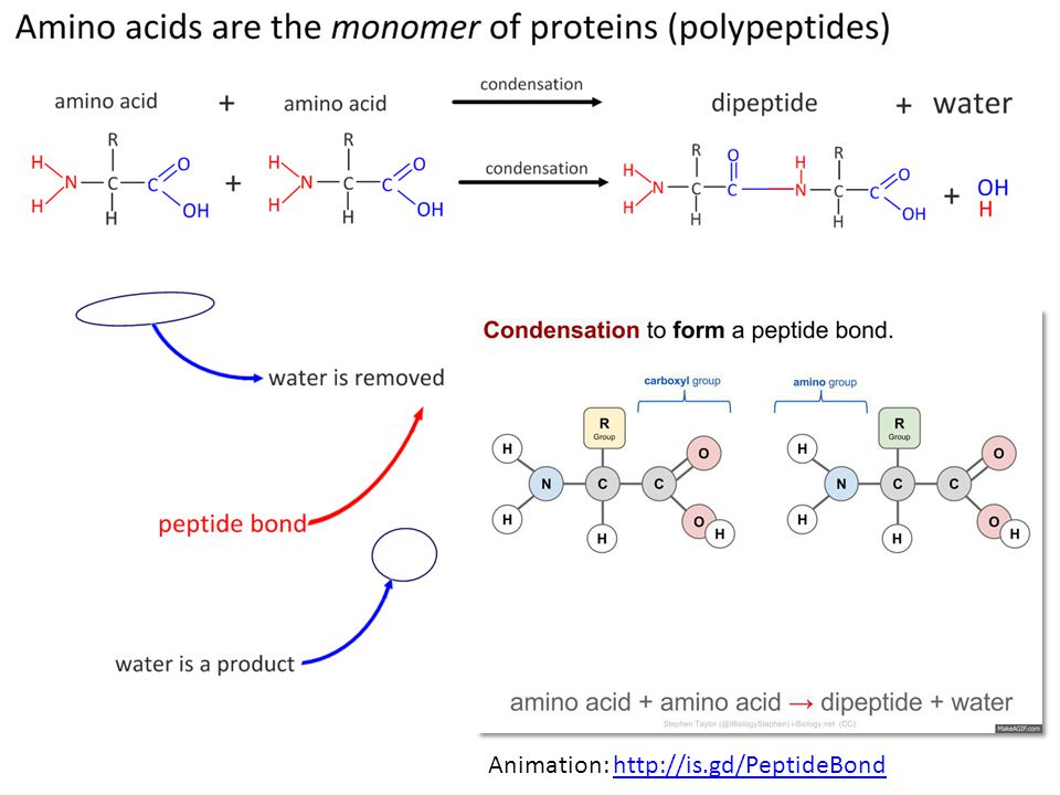 Animation: http://is.gd/PeptideBondhttp://is.gd/PeptideBond
