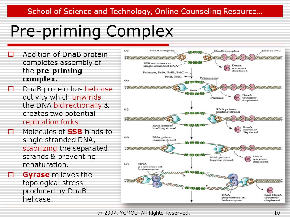 School of Science and Technology, Online Counseling Resource… Pre-priming Complex  Addition of DnaB protein completes assembly of the pre-priming com