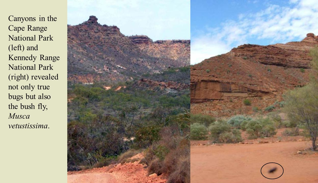 Canyons in the Cape Range National Park (left) and Kennedy Range National Park (right) revealed not only true bugs but also the bush fly, Musca vetustissima.