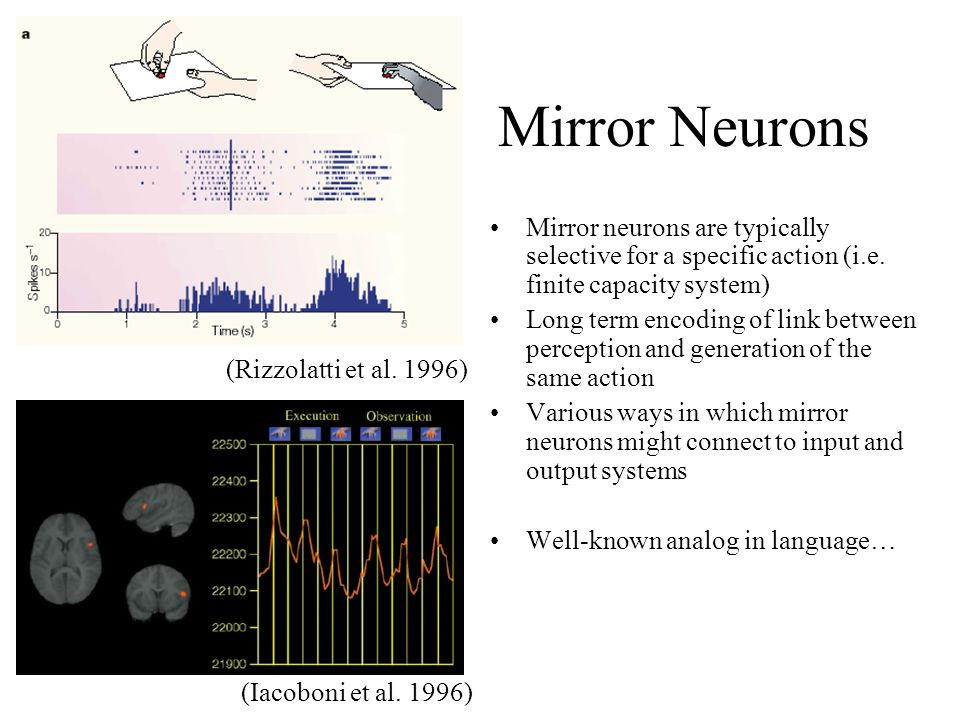 Mirror Neurons Mirror neurons are typically selective for a specific action (i.e.