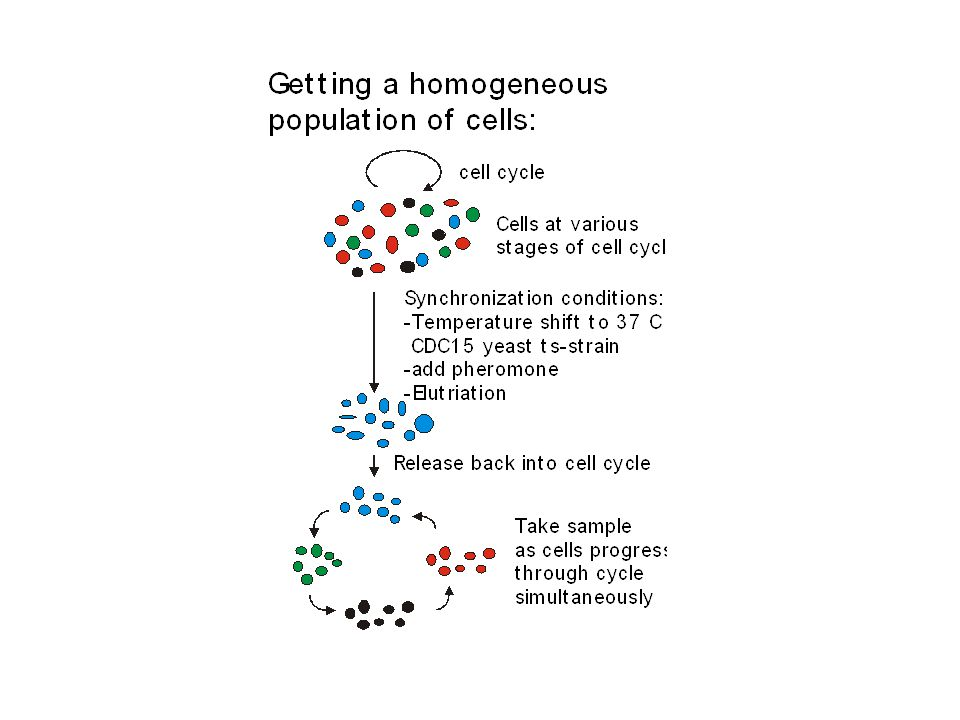 Yeast Cell Cycle (adapted from Molecular Cell Biology, Darnell et al)