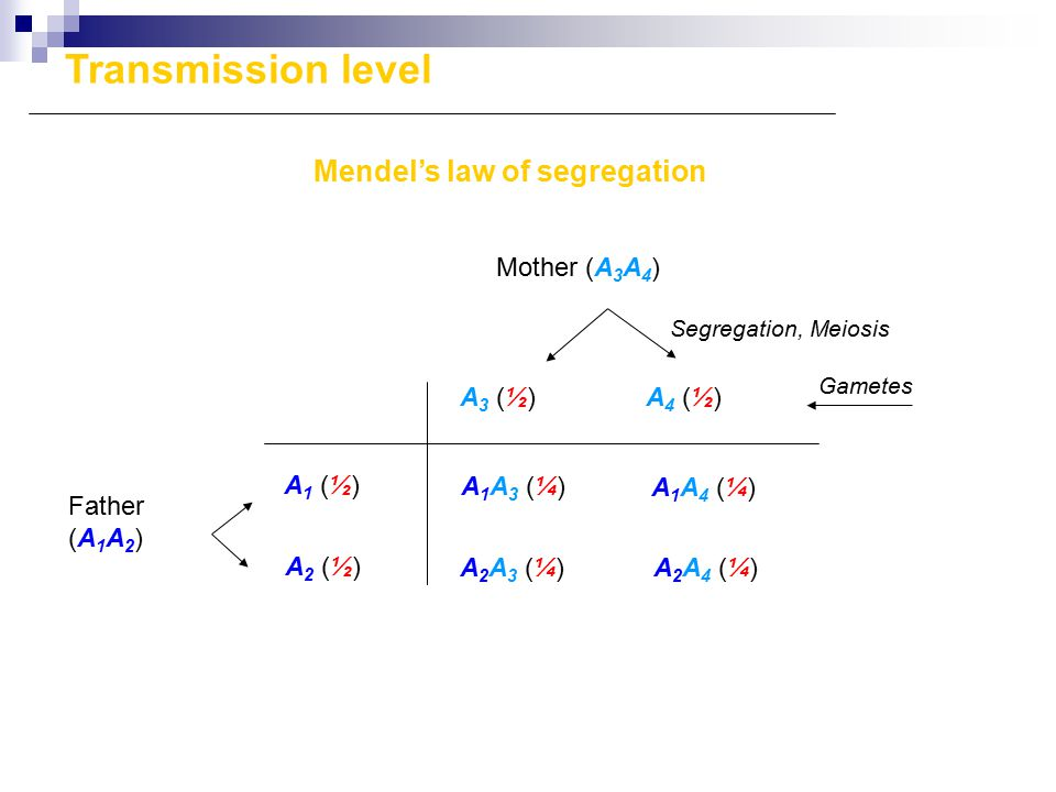 Segregation, Meiosis Mendel's law of segregation A3 (½)A3 (½)A4 (½)A4 (½) A1 (½)A1 (½) A2 (½)A2 (½) Mother (A 3 A 4 ) A1A3 (¼)A1A3 (¼) A2A3 (¼)A2A3 (¼) A1A4 (¼)A1A4 (¼) A2A4 (¼)A2A4 (¼) Gametes Father (A 1 A 2 ) Transmission level