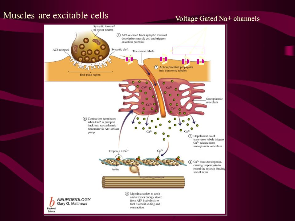 Voltage Gated Na+ channels Muscles are excitable cells