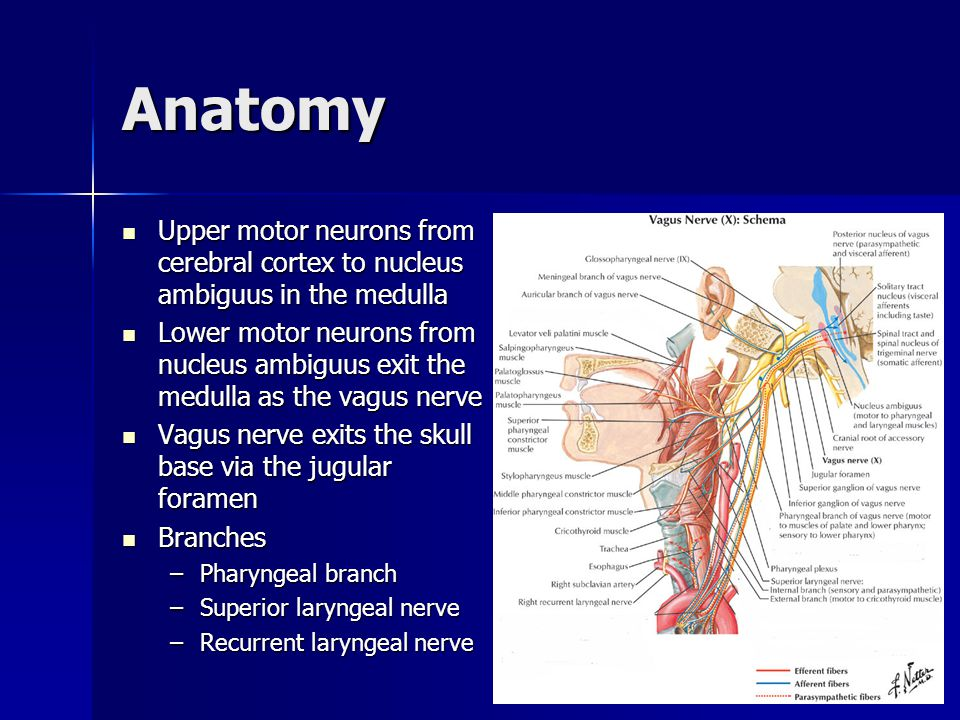 Anatomy Recurrent laryngeal nerve Recurrent laryngeal nerve –0.5% right non- recurrent laryngeal nerve Muscles Muscles –Lateral cricoarytenoid –Posterior cricoarytenoid –Thyroarytenoid –Interarytenoid