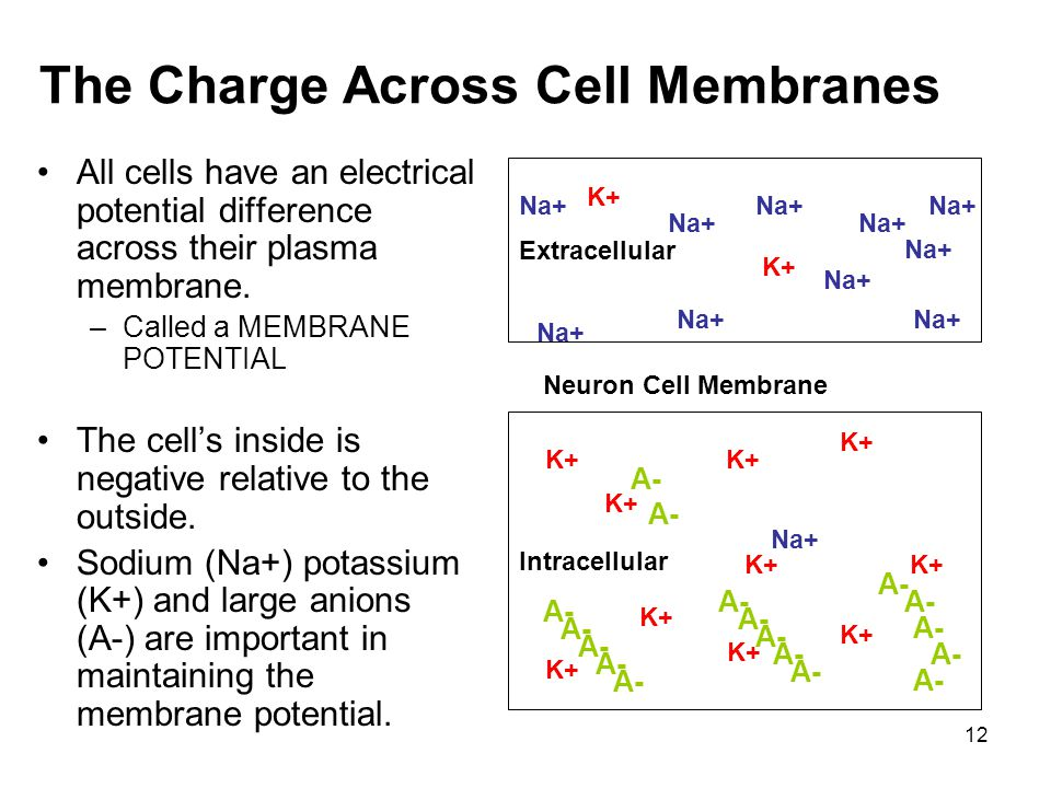 12 The Charge Across Cell Membranes All cells have an electrical potential difference across their plasma membrane. –Called a MEMBRANE POTENTIAL The c