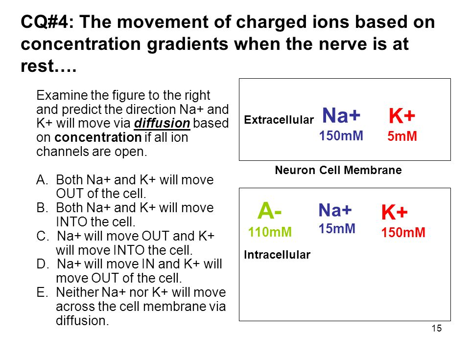 15 CQ#4: The movement of charged ions based on concentration gradients when the nerve is at rest…. Examine the figure to the right and predict the dir