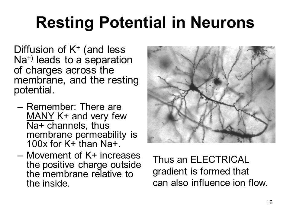 16 Resting Potential in Neurons Diffusion of K + (and less Na +) leads to a separation of charges across the membrane, and the resting potential. –Rem