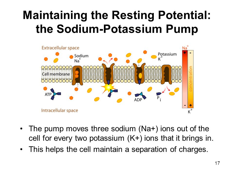 17 Maintaining the Resting Potential: the Sodium-Potassium Pump The pump moves three sodium (Na+) ions out of the cell for every two potassium (K+) io