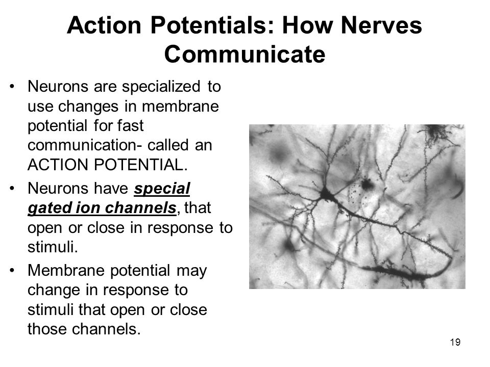 19 Action Potentials: How Nerves Communicate Neurons are specialized to use changes in membrane potential for fast communication- called an ACTION POT