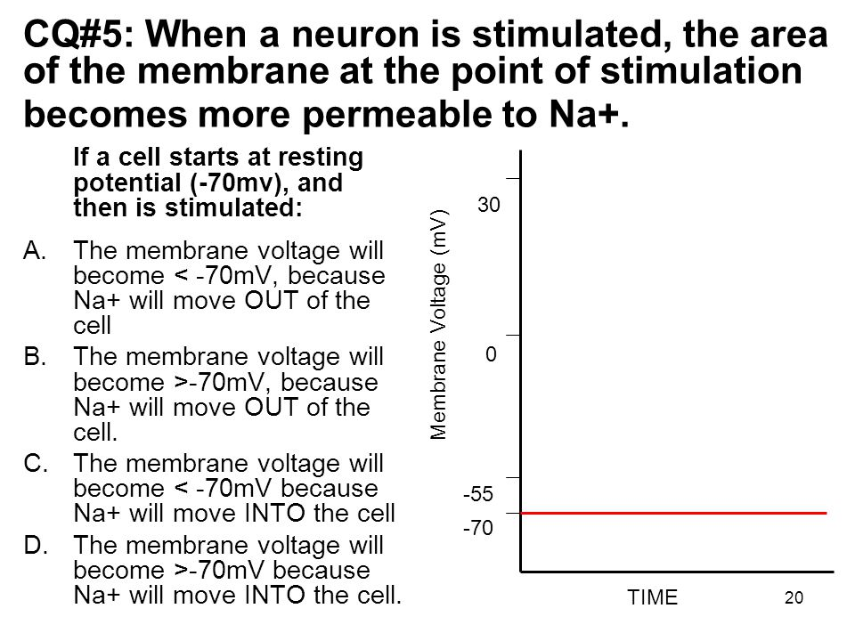 20 CQ#5: When a neuron is stimulated, the area of the membrane at the point of stimulation becomes more permeable to Na+.