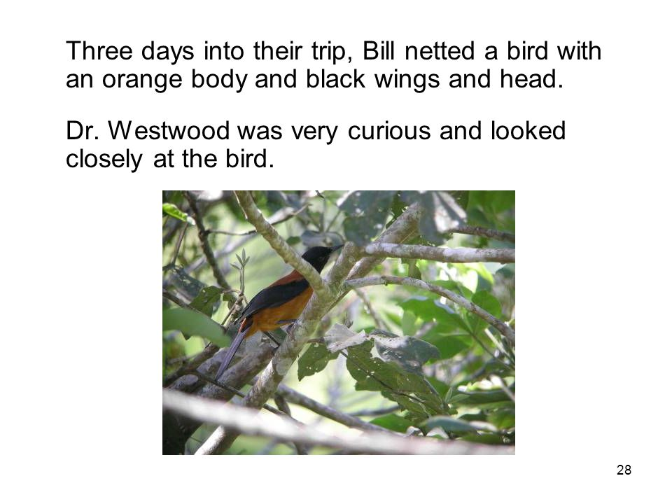 28 Three days into their trip, Bill netted a bird with an orange body and black wings and head.