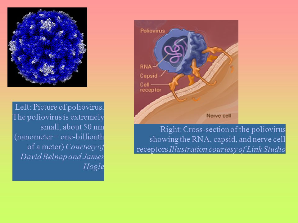 Left: Picture of poliovirus. The poliovirus is extremely small, about 50 nm (nanometer = one-billionth of a meter) Courtesy of David Belnap and James