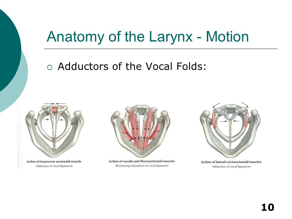 10 Anatomy of the Larynx - Motion  Adductors of the Vocal Folds: