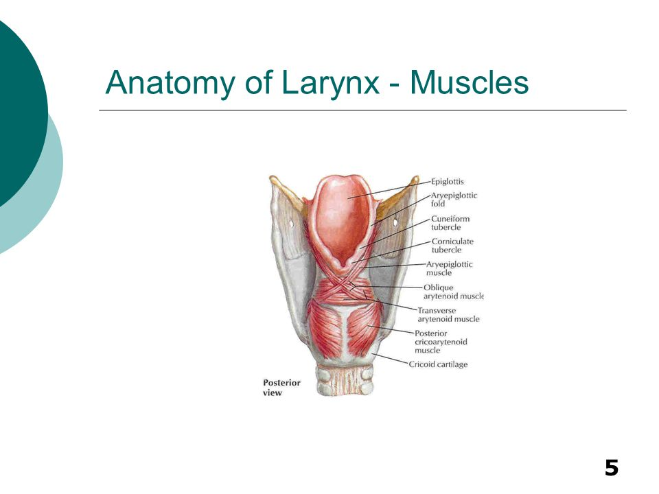 5 Anatomy of Larynx - Muscles