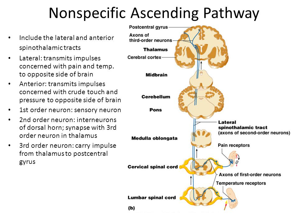 Nonspecific Ascending Pathway Include the lateral and anterior spinothalamic tracts Lateral: transmits impulses concerned with pain and temp. to oppos