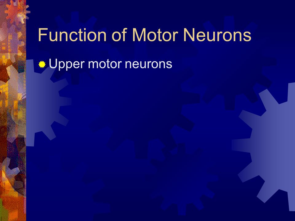 Function of Motor Neurons  Upper motor neurons