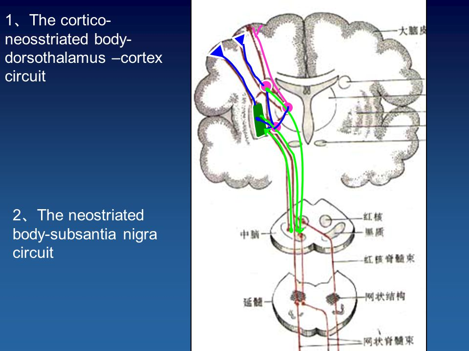1 、 The cortico- neosstriated body- dorsothalamus –cortex circuit 2 、 The neostriated body-subsantia nigra circuit