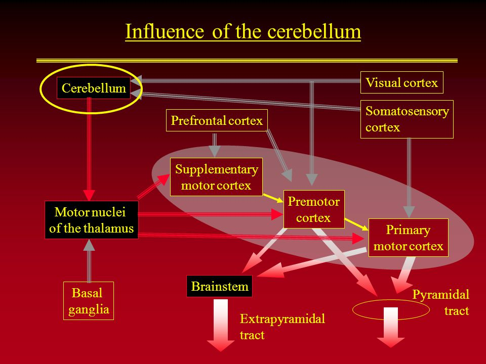 Influence of the cerebellum Brainstem Extrapyramidal tract Cerebellum Basal ganglia Supplementary motor cortex Pyramidal tract Premotor cortex Primary motor cortex Visual cortex Somatosensory cortex Motor nuclei of the thalamus Prefrontal cortex