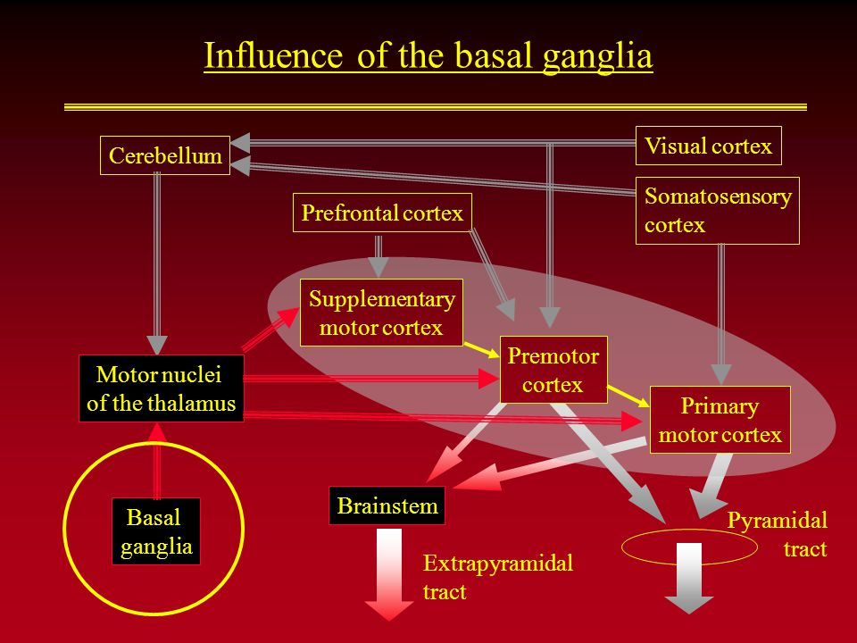 Influence of the basal ganglia Brainstem Extrapyramidal tract Cerebellum Basal ganglia Supplementary motor cortex Pyramidal tract Premotor cortex Prim