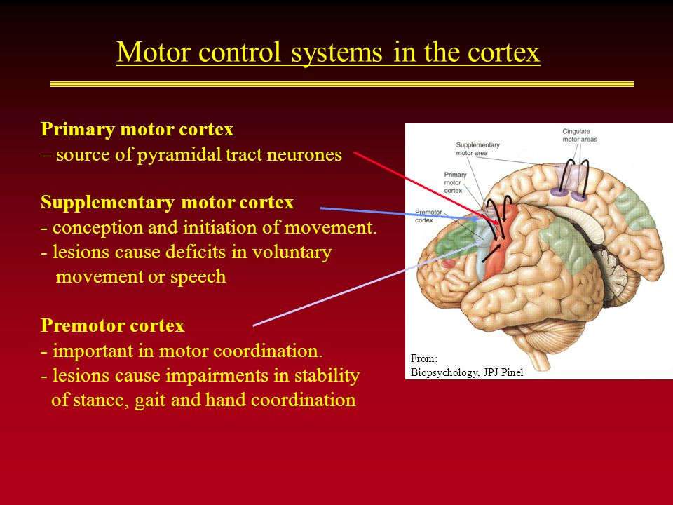 Motor control systems in the cortex Primary motor cortex – source of pyramidal tract neurones Supplementary motor cortex - conception and initiation of movement.