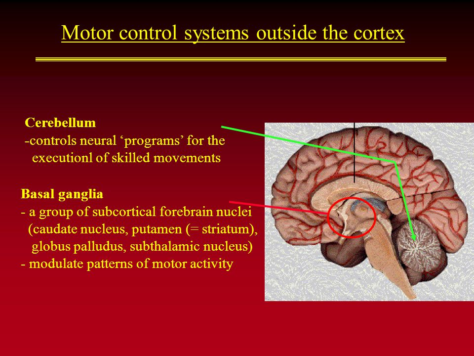 Motor control systems outside the cortex Basal ganglia - a group of subcortical forebrain nuclei (caudate nucleus, putamen (= striatum), globus palludus, subthalamic nucleus) - modulate patterns of motor activity Cerebellum -controls neural 'programs' for the executionl of skilled movements