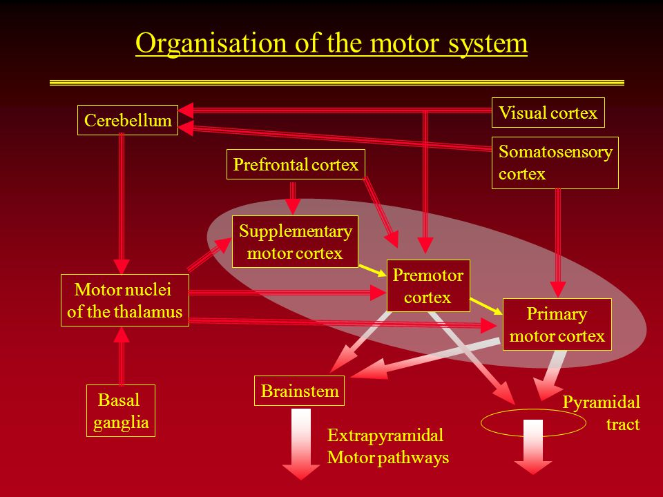 Organisation of the motor system Brainstem Extrapyramidal Motor pathways Cerebellum Basal ganglia Supplementary motor cortex Pyramidal tract Premotor cortex Primary motor cortex Visual cortex Somatosensory cortex Motor nuclei of the thalamus Prefrontal cortex