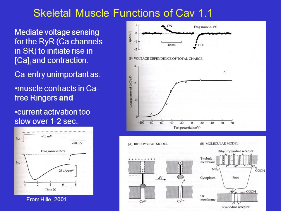 Skeletal Muscle Functions of Cav 1.1 Mediate voltage sensing for the RyR (Ca channels in SR) to initiate rise in [Ca] i and contraction.