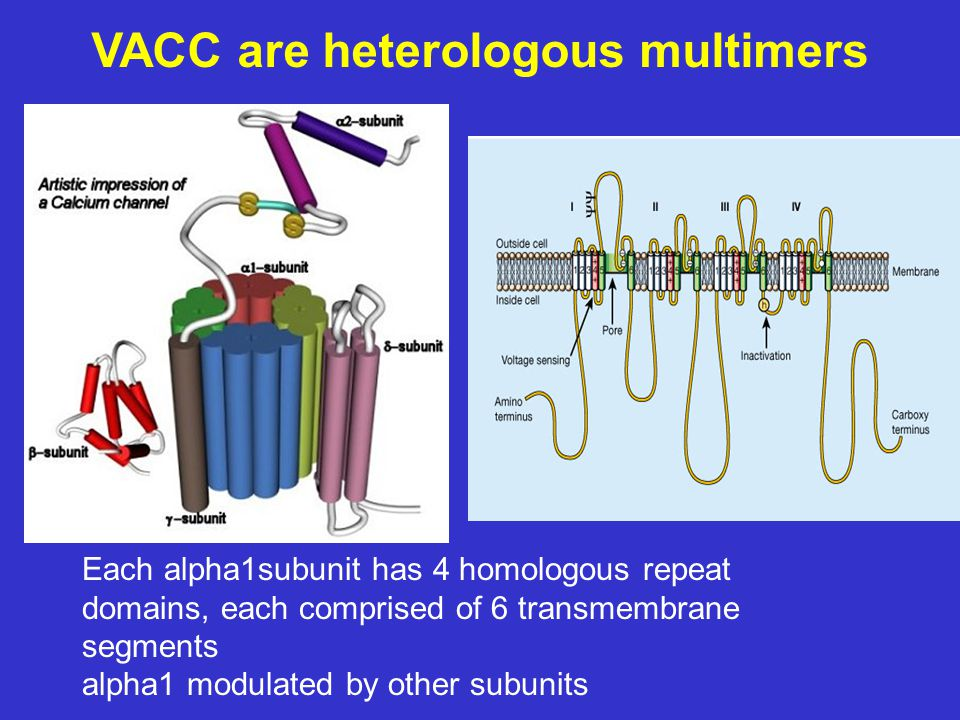 VACC are heterologous multimers Each alpha1subunit has 4 homologous repeat domains, each comprised of 6 transmembrane segments alpha1 modulated by other subunits