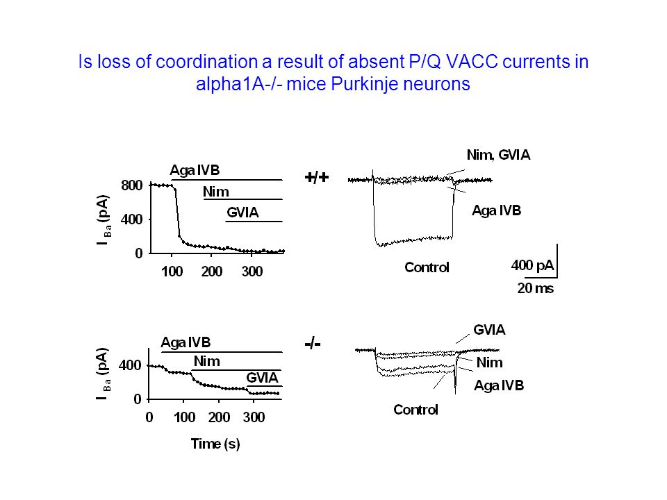 Is loss of coordination a result of absent P/Q VACC currents in alpha1A-/- mice Purkinje neurons