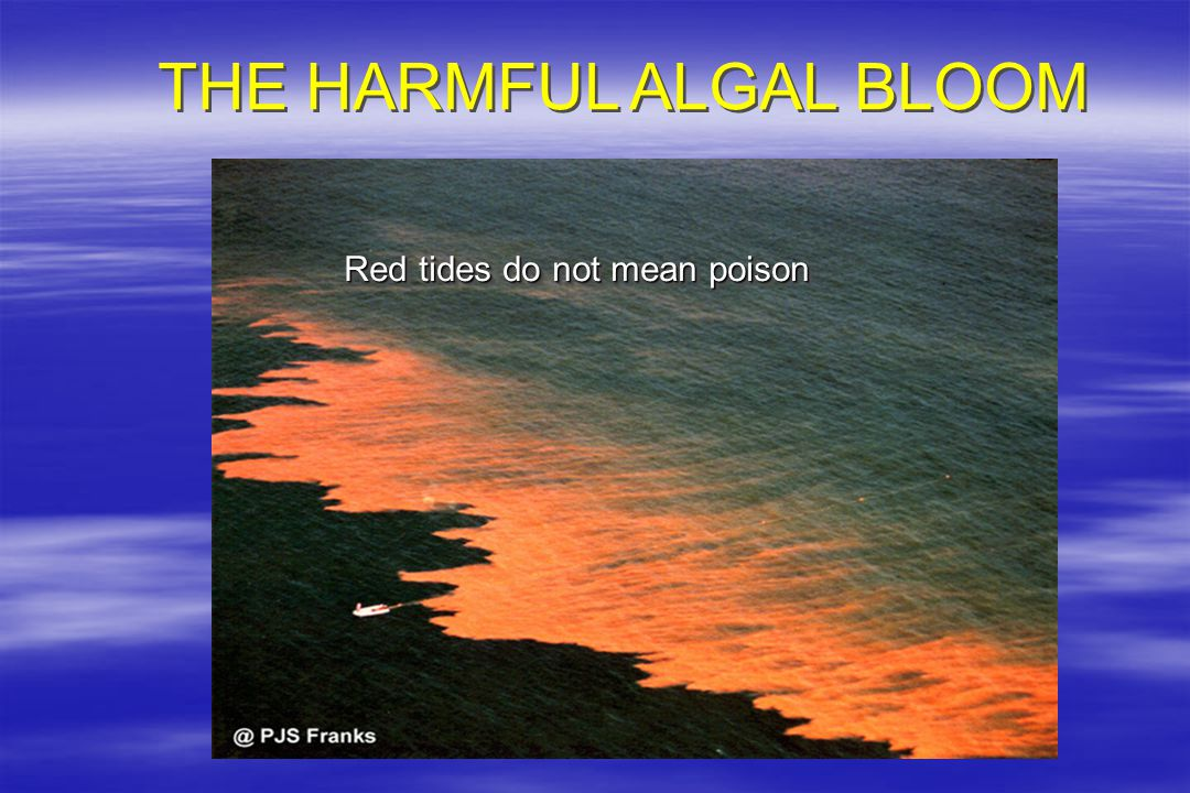 THE HARMFUL ALGAL BLOOM Red tides do not mean poison