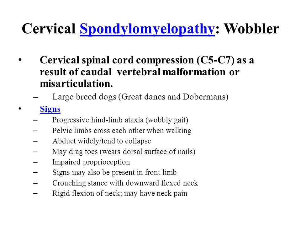 Cervical Spondylomyelopathy: WobblerSpondylomyelopathy Cervical spinal cord compression (C5-C7) as a result of caudal vertebral malformation or misarticulation.