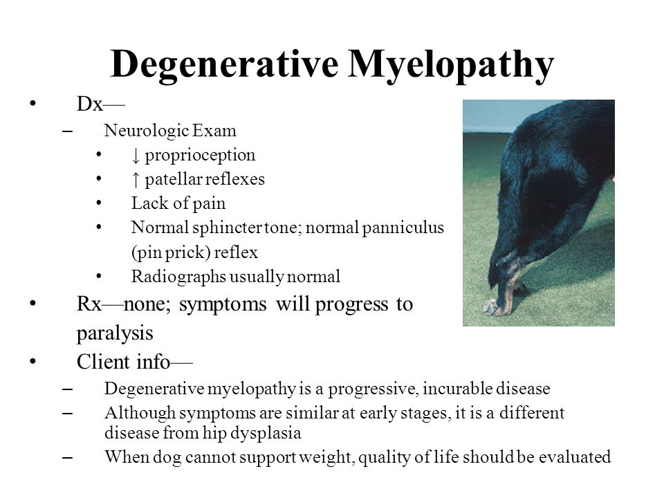 Degenerative Myelopathy Dx— – Neurologic Exam ↓ proprioception ↑ patellar reflexes Lack of pain Normal sphincter tone; normal panniculus (pin prick) reflex Radiographs usually normal Rx—none; symptoms will progress to paralysis Client info— – Degenerative myelopathy is a progressive, incurable disease – Although symptoms are similar at early stages, it is a different disease from hip dysplasia – When dog cannot support weight, quality of life should be evaluated