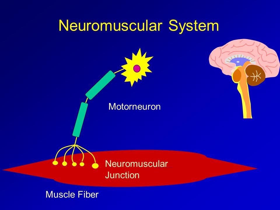 Motorneuron Muscle Fiber Neuromuscular Junction Neuromuscular System