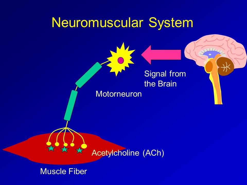 Neuromuscular System Motorneuron Muscle Fiber Signal from the Brain Acetylcholine (ACh)