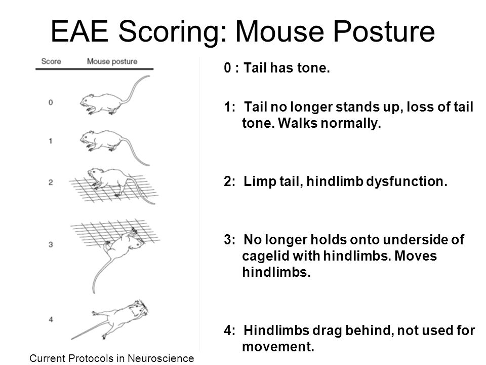 EAE Scoring: Mouse Posture 0 : Tail has tone. 1: Tail no longer stands up, loss of tail tone.