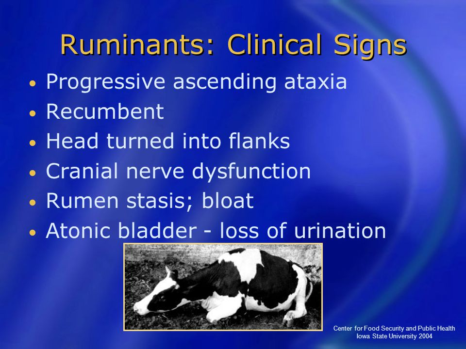 Center for Food Security and Public Health Iowa State University 2004 Ruminants: Clinical Signs Progressive ascending ataxia Recumbent Head turned int