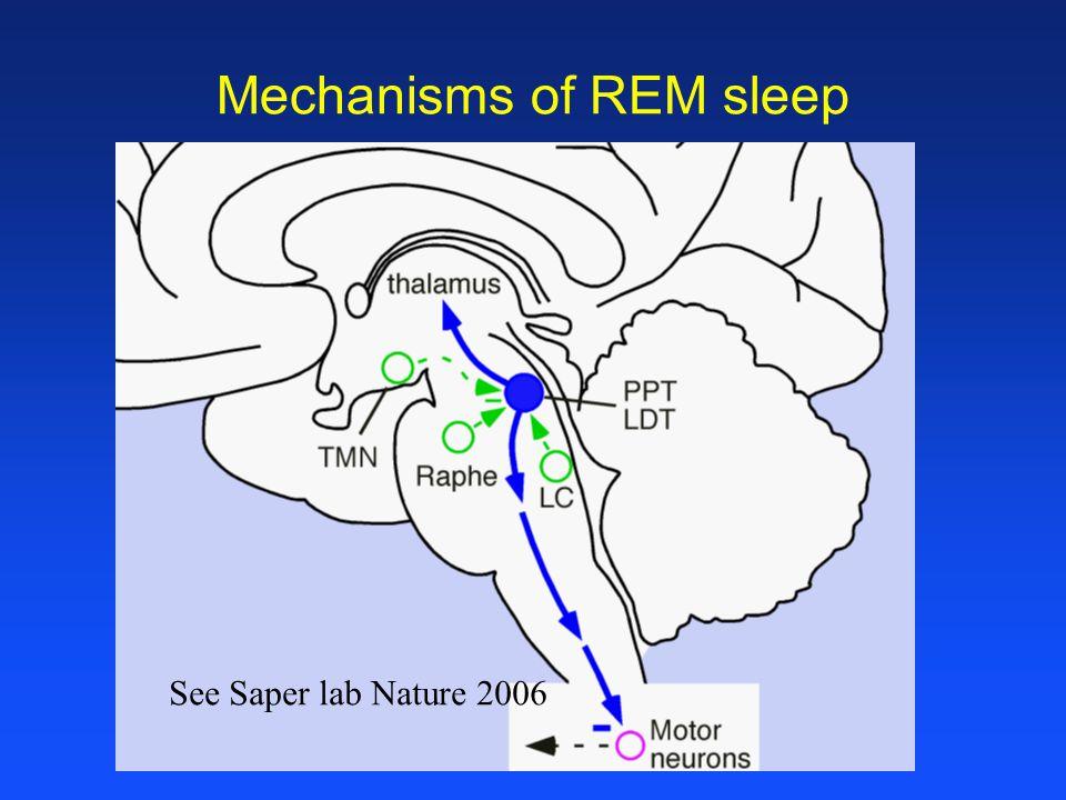 Mechanisms of REM sleep See Saper lab Nature 2006