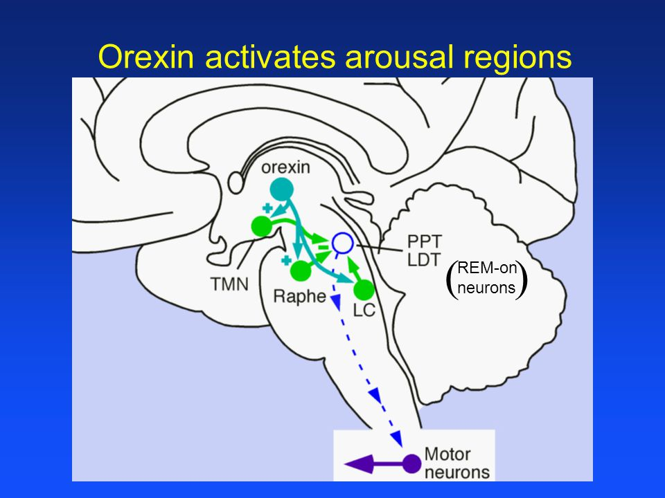 Orexin activates arousal regions REM-on neurons ( )